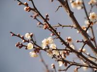 梅と福寿草 - 八ヶ岳 革 ときどき くるみ