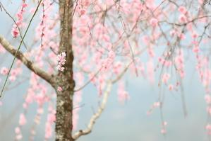 枝垂れ梅に見惚れて。。 - 心 色