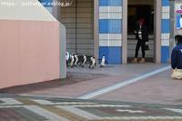 2019年1月白浜パンダ見隊その2 ペンギンパレード - ハープの徒然草