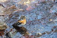 水場のアトリ、カシラダカ、メジロ - 上州自然散策2