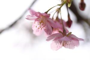 はじまりの桜色 -