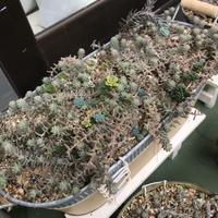 多肉事(。・ω・。)セダム植え替え - miiの多肉植物