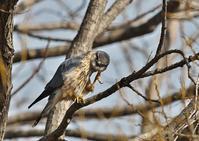 コチョウゲンボウ - 今日も鳥撮り