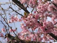 早咲きの桜 - よく飲むオバチャン☆本日のメニュー