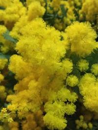 今年のミモザリースレッスンについて - お花に囲まれて