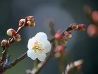 万葉植物園の梅の花 - いや、だから 姉ちゃん じゃなくて ネイチャー・・・