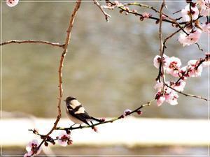 6年ぶりのオジロビタキシリーズ③梅の香に包まれて2019/2/23 in Tokyo - 「 むっちゃんの 花鳥風月  」  メインは野鳥 + 猫家族・富士山・花・鉄道・空