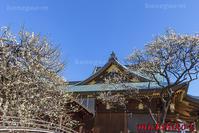 湯島天神の梅 - 風景写真家 鐘ヶ江道彦のフォトブログ