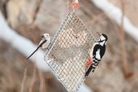 2019道東の野鳥巡り⑧鱒やさんのお庭でシマエナガ(2/11) - ひとり野鳥の会