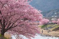 満開の河津桜 - Motorradな日々 2
