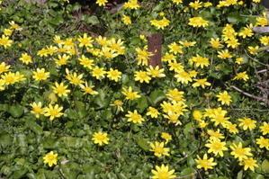 春を告げる黄色い花 - 絵本だまり
