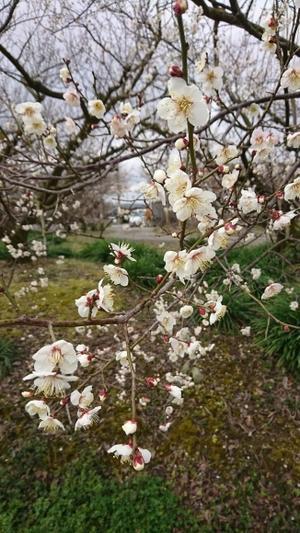 春がそこまで - さっちゃんはね・・・♪(森下さち子のブログ)