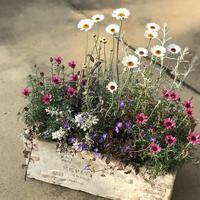 ローダンセマムの寄せ植え - さにべるスタッフblog     -Sunny Day's Garden-