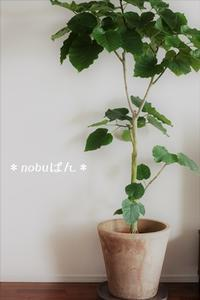 New Face 観葉植物~ウンベラータ☆ - nobuぱん
