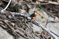 カワセミ物語2月23日 - 阪南カワセミ【野鳥と自然の物語】