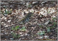 トラツグミとタヌキ - 野鳥の素顔 <野鳥と日々の出来事>