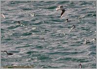 太平洋沖合の水鳥たち - 野鳥の素顔 <野鳥と日々の出来事>