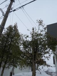 庭木の伐採・・雪解け編 - あいやばばライフ