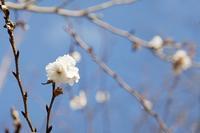 冬の桜 - やさしい風に誘われて