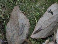 オオムラサキ越冬幼虫 - 自然を楽しむ