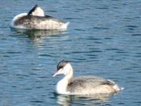 『木曽川で見た鳥達~』 - 自然風の自然風だより