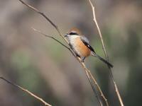 さくら草公園でモズを撮りました - コーヒー党の野鳥と自然 パート2
