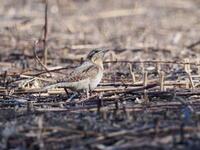さくら草公園のアリスイもう一度 - コーヒー党の野鳥と自然 パート2