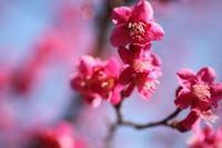 はじける梅の中で - 「せ」の写真集 刹那の光