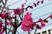 紅梅が咲き始めました - azure 自然散策 ~自然・季節・野鳥~