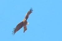 獲物?を抱えて上昇するトビ - 上州自然散策2