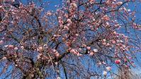 枝垂れ梅と咲き始めたサンシュユ - 旅のかほり