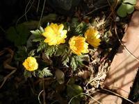福寿草の花増える・・・ - 【出逢いの花々】