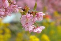 河津桜さんぽ♪ - うひひなまいにち