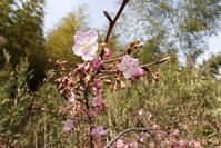 河津桜が咲きました - 里山を歩く会
