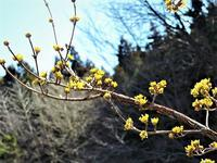 サンシュユ山茱萸 - 里山の四季