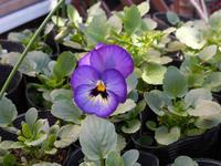 種まき虹色スミレの一番花が咲きました - ヨガと官足法で素敵生活