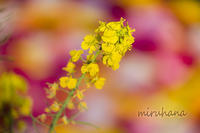菜の花。 - MIRU'S PHOTO
