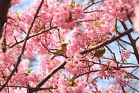 河津桜とメジロ♪ - 湘南気まま生活♪
