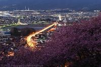 第21回まつだ桜まつり 河津桜 - photograph3