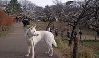 梅林 - 小太郎の白っぽい世界