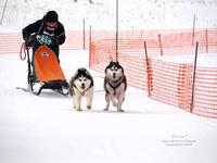 JAPANCUP2019 全国犬ぞり稚内大会1日目。 - Precious*恋するカメラ
