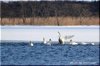 ウトナイ湖の白鳥 - 北海道photo一撮り旅