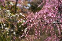 「蕾ふくらみ、華、落ちる。-城南宮神苑-」 - ほぼ京都人の密やかな眺め