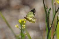 新生蝶3種 - 蝶と蜻蛉の撮影日記