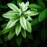 ・weak green coloring foliage・ - - Foliage & Blooms'葉と花' pics. -