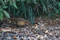 河畔林の冬鳥コジュッケイ - 瑞穂の国の野鳥たち