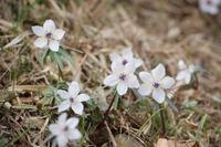 山里に咲く春の妖精 - 季節の風を追いかけて