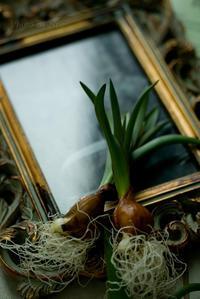球根ものに惹かれ、春を水栽培で楽しむ。 - ナナイロノート