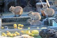 五つ子赤ちゃんとカピバラ温泉(埼玉県こども動物自然公園) - 続々・動物園ありマス。
