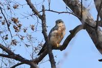 コチョウゲンボウ02月24日 - 旧サンヨン野鳥撮影放浪記